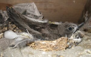 Young swift ready to leave the nest
